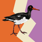 Giddy Up: GUP044 Oyster Catcher